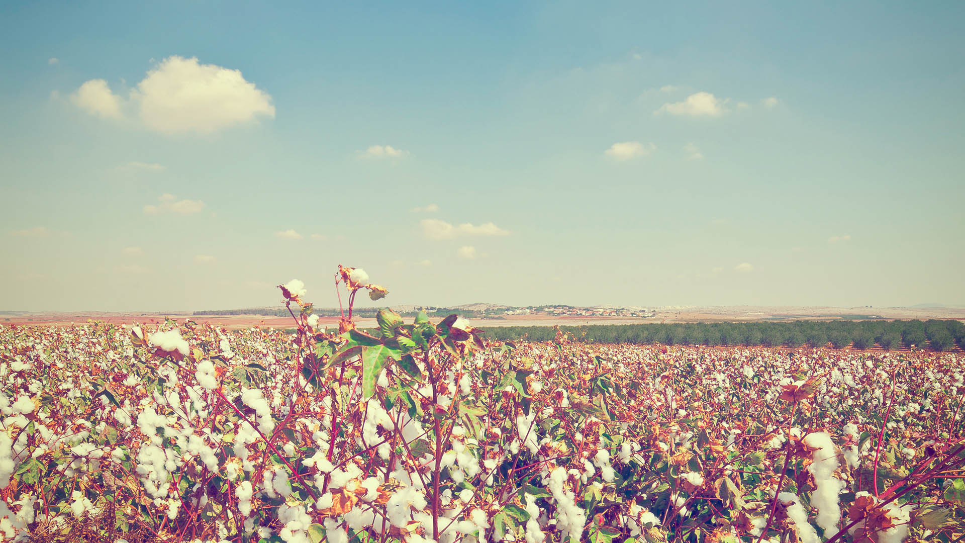cotton-fields.jpg